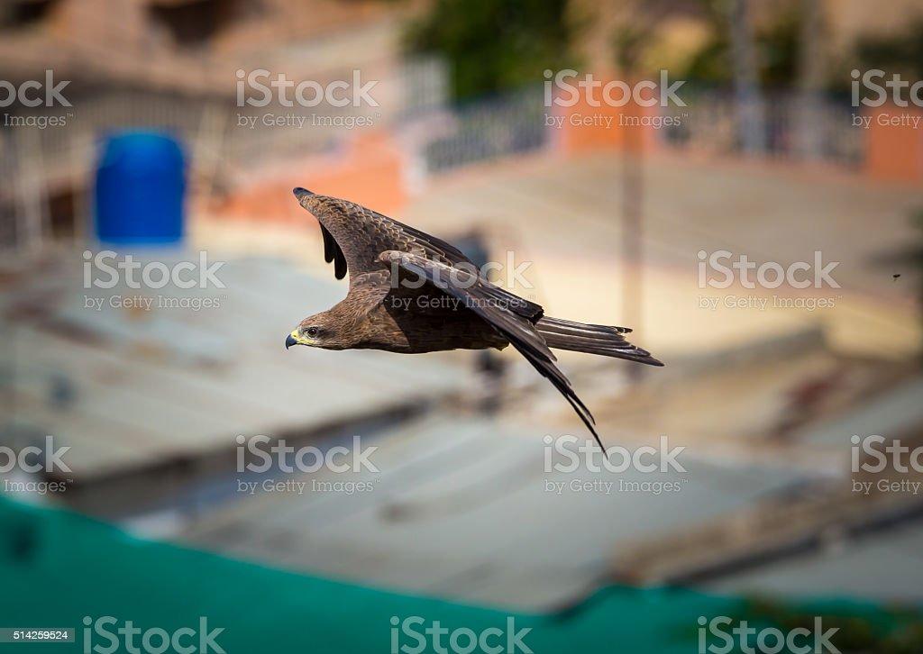 Black Kite Bangalore India. stock photo