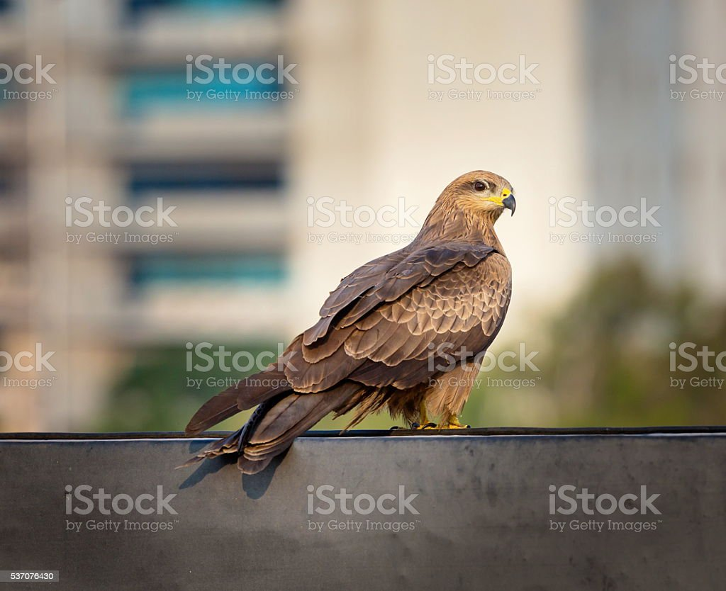 Black Kite Bangalore India. stock photo