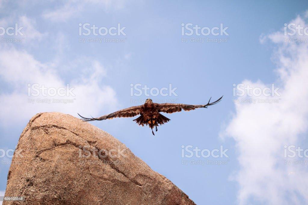 Black kite Eagle in flight stock photo