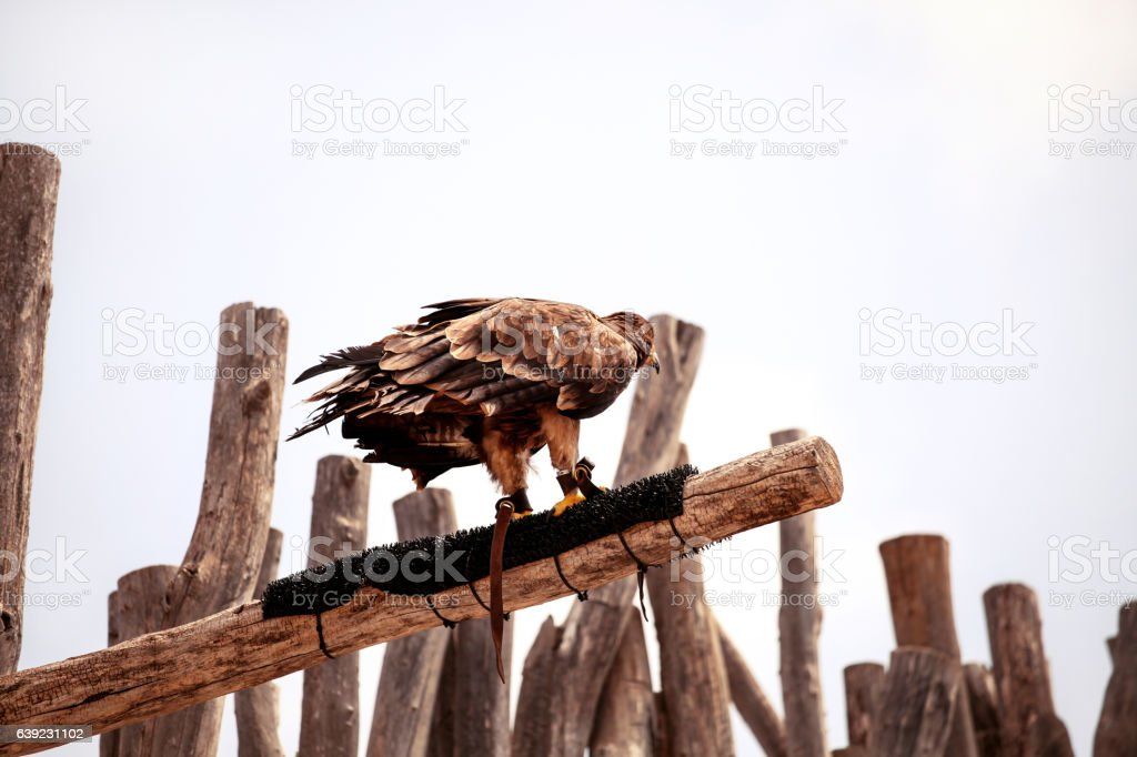 Black kite Eagle standing on a tree branch stock photo