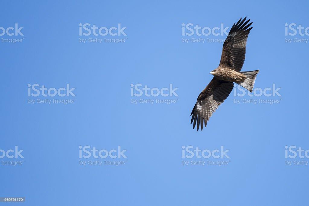 Black kite flies stock photo