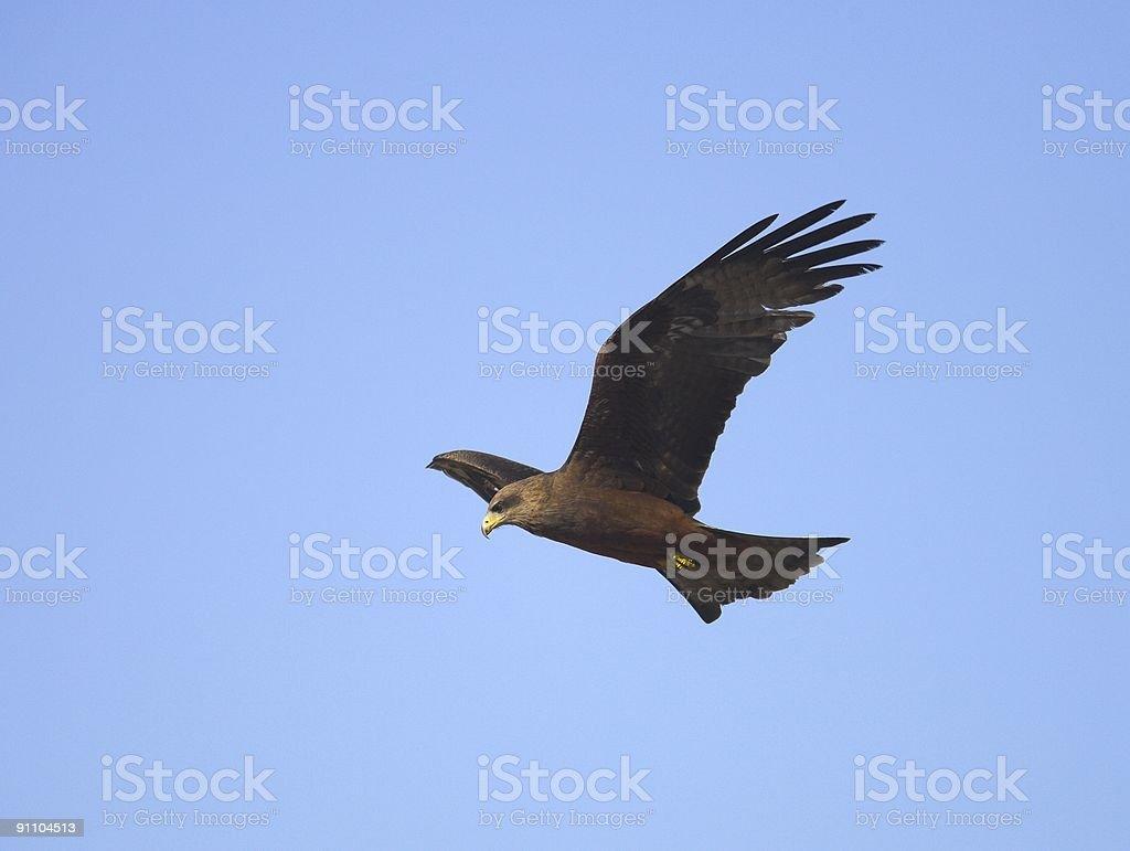 Black kite hovering stock photo