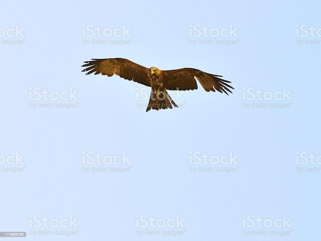 Black Kite Hunting In Senegal stock photo