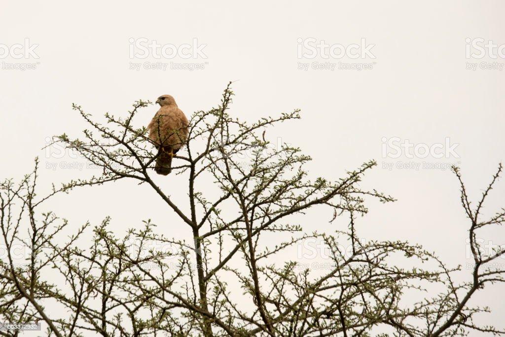Black kite in tree, Uganda stock photo