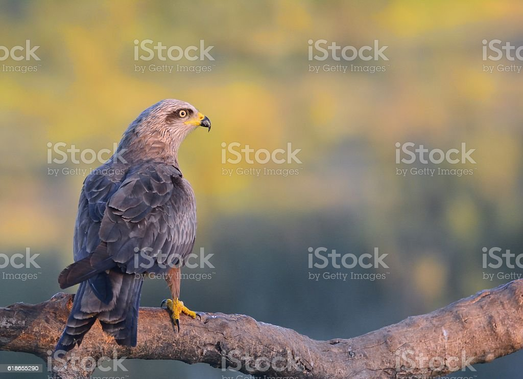 Black kite perched on a branch. stock photo