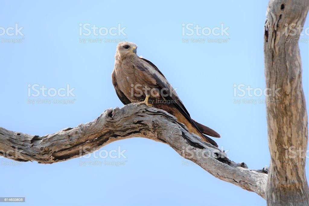 Black Kite Perched over Warrego River stock photo