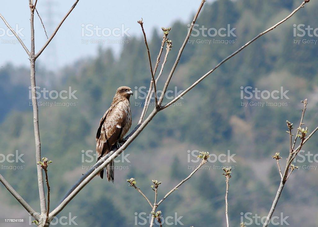 Black Kite ( Milvus migrans ) stock photo