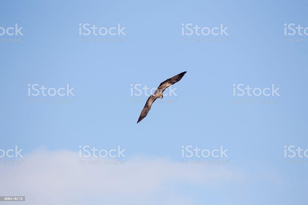 Black Kite (Milvus migrans) stock photo