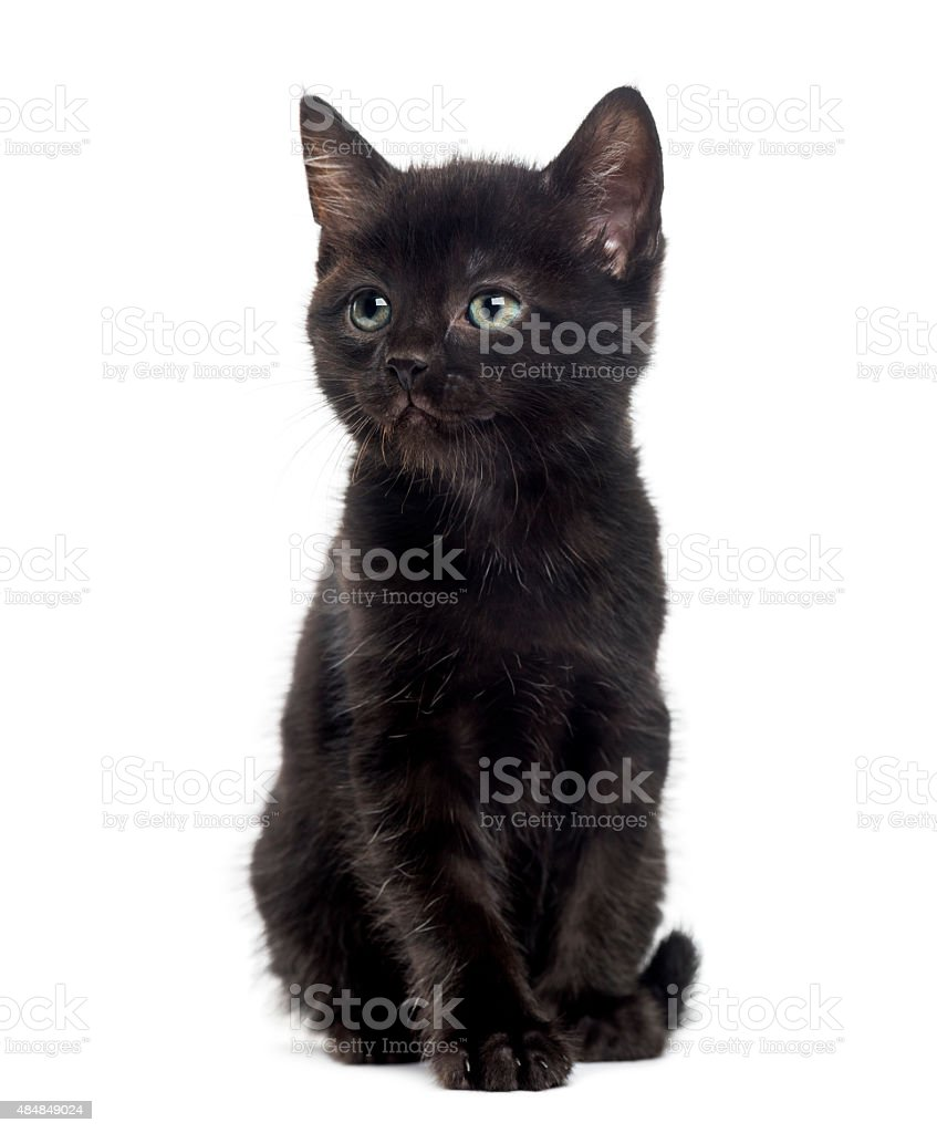 Black kitten in front of a white background stock photo