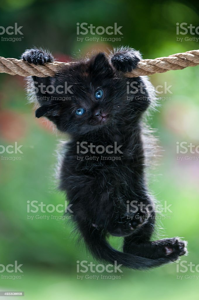 Black kitten is hanging on the rope stock photo