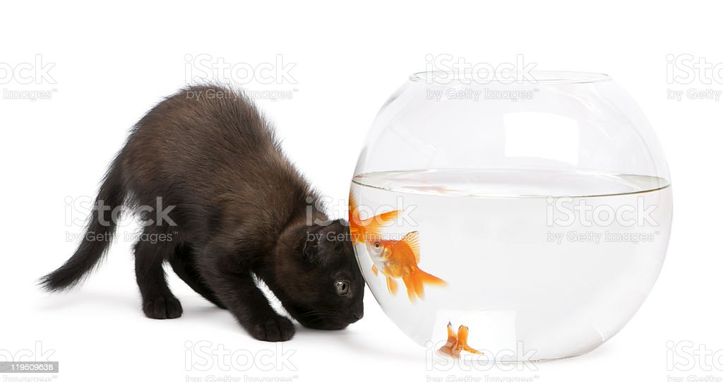 Black kitten looking at Goldfish, swimming in fish bowl. royalty-free stock photo
