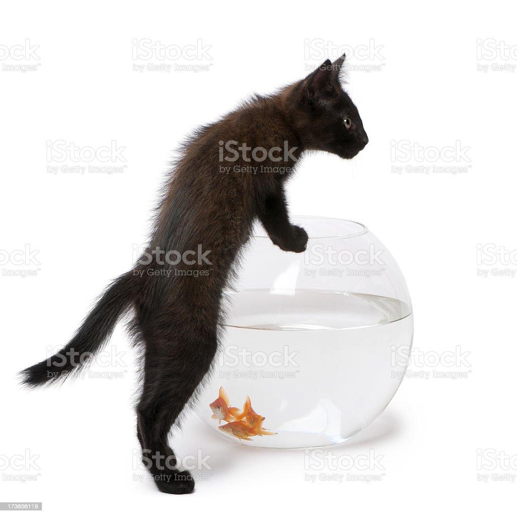 Black kitten looking at Goldfish swimming in fish bowl royalty-free stock photo