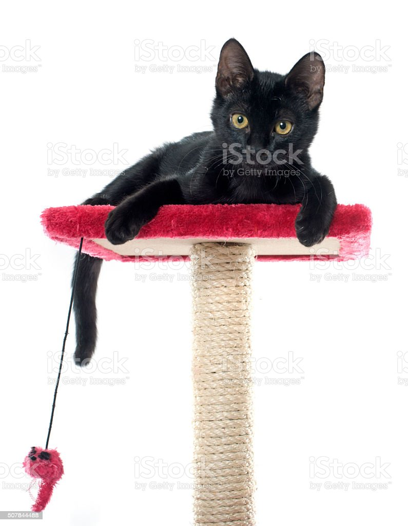 black kitten playing stock photo