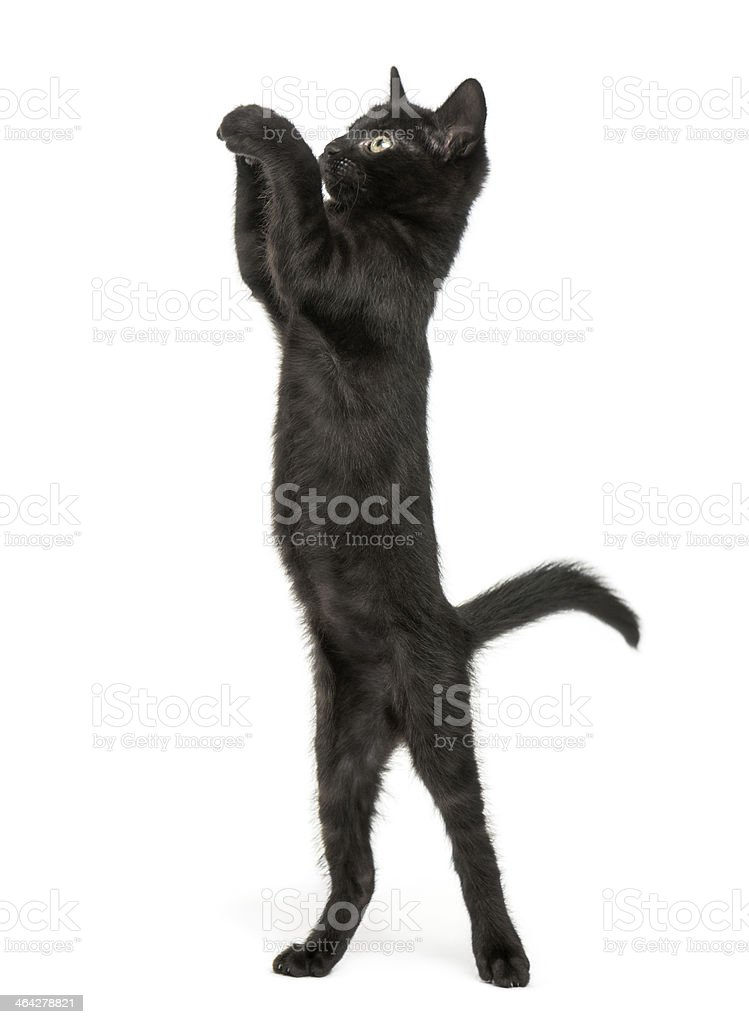Black kitten standing on hind legs, reaching, pawing up stock photo