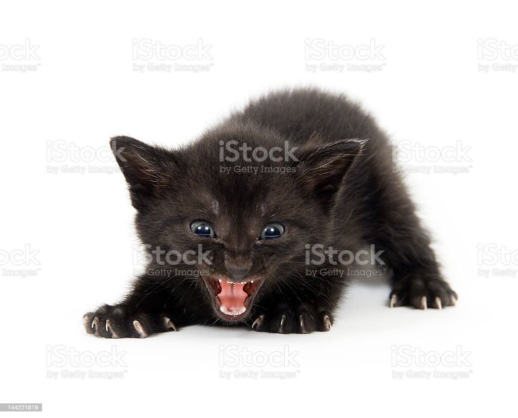 black kitten trying to be ferocious royalty-free stock photo