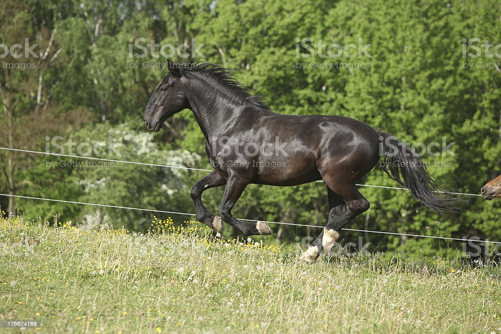 black kladruber horse running in past blossom dandelions royalty-free stock photo