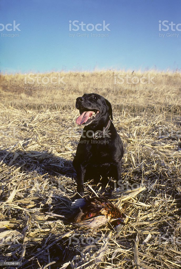 Black Lab and pheasant royalty-free stock photo