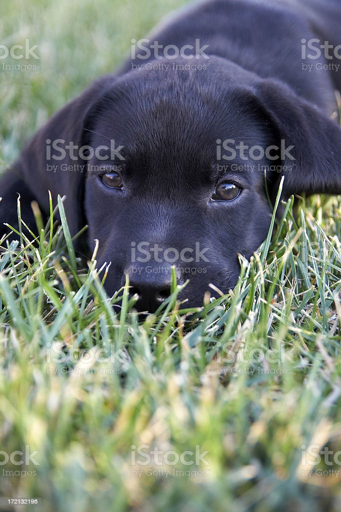 Black Lab Baby royalty-free stock photo