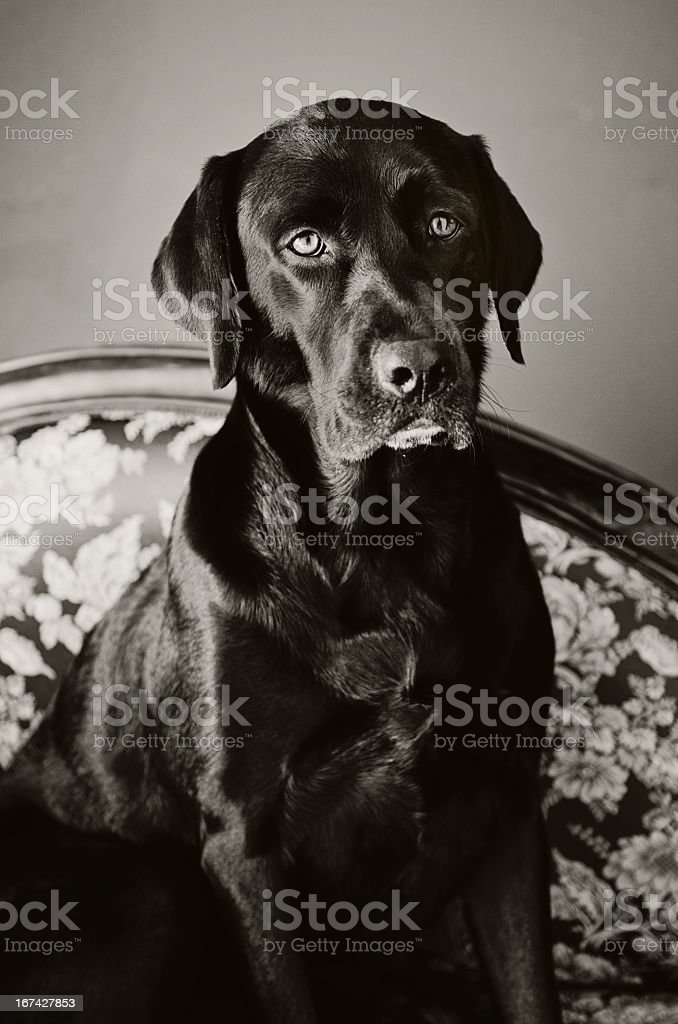 Black Lab royalty-free stock photo