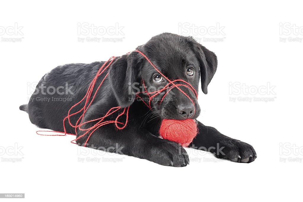 black lab puppy, two months old royalty-free stock photo