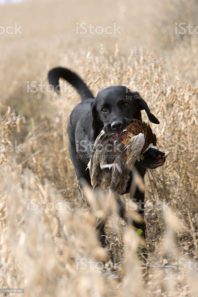 Black Lab retrieving a ring-necked pheasant. royalty-free stock photo