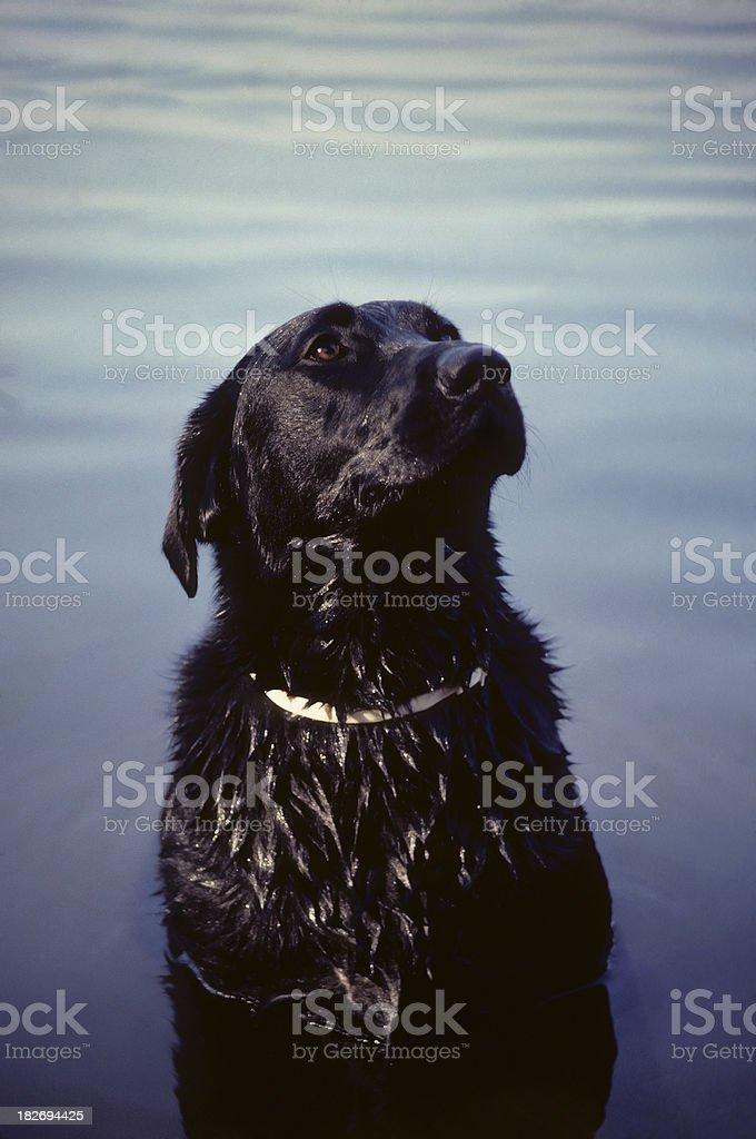 black lab, sitting in a lake royalty-free stock photo