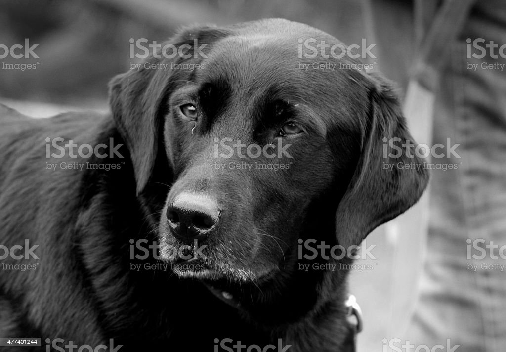 Black Labdrador Portrait stock photo