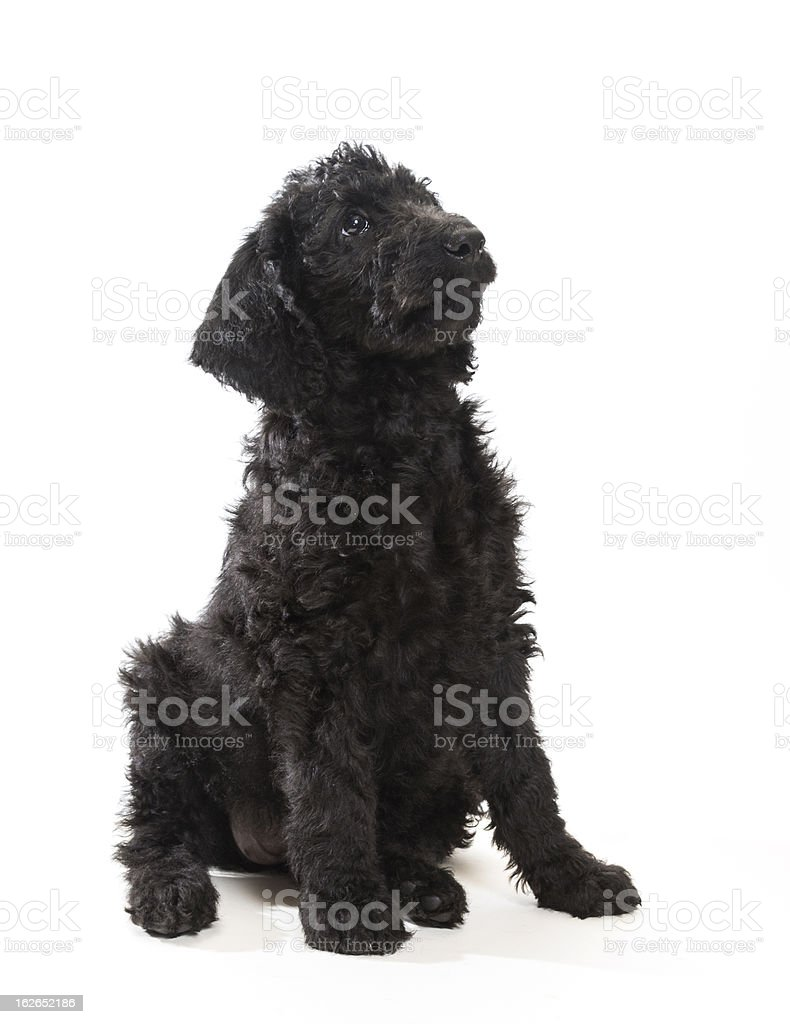 Black Labradoodle royalty-free stock photo