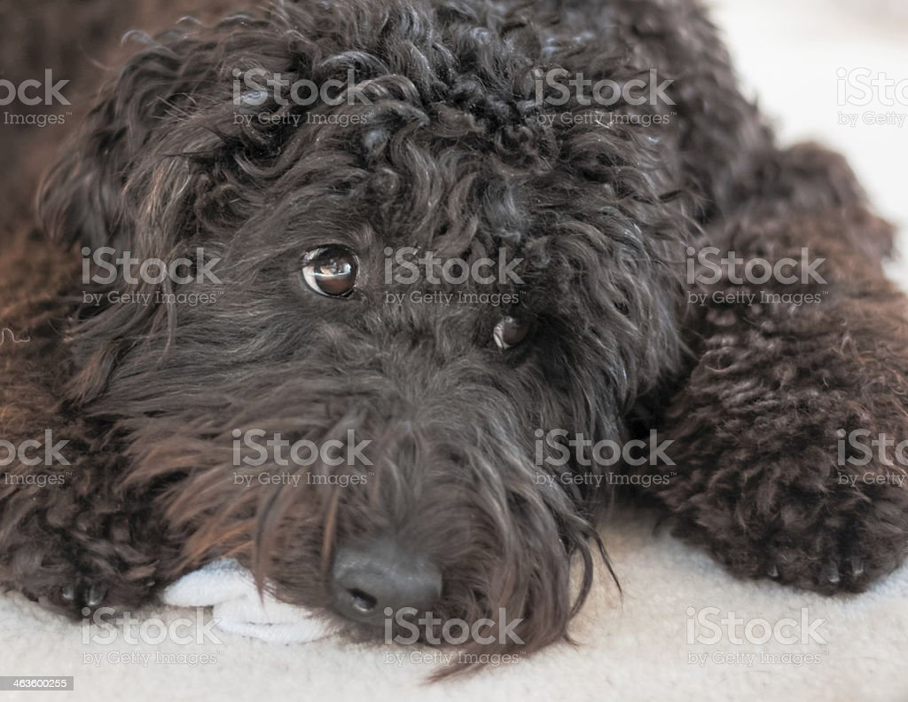 Black Labradoodle With Sock stock photo