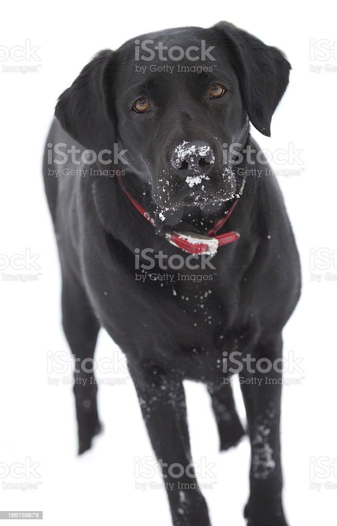 Black labrador dog outdoors royalty-free stock photo