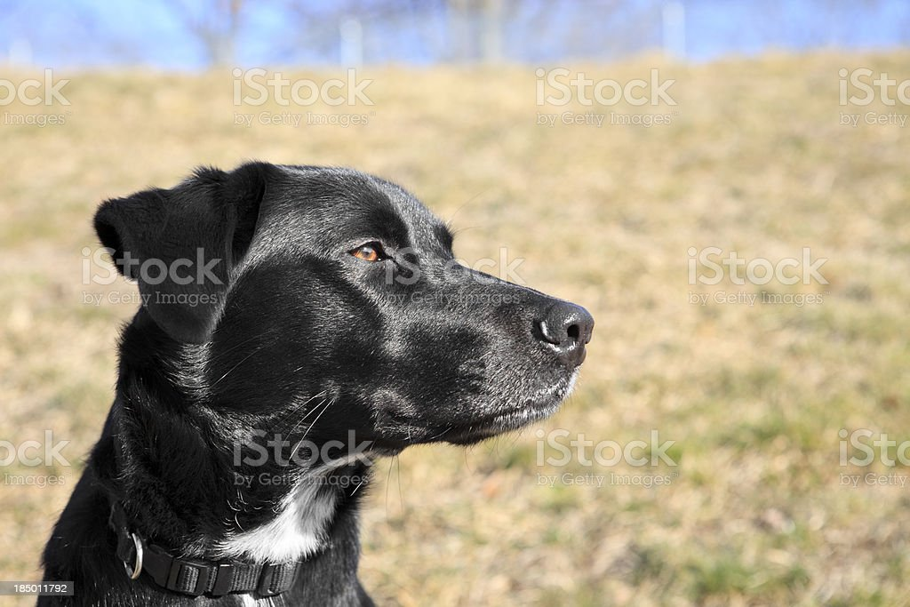 Black labrador dog portrait looks intently to right stock photo