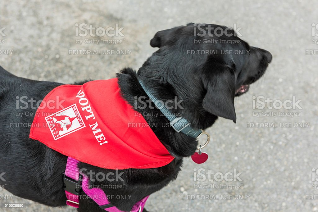 Black labrador dog with red scarf and Adopt Me stock photo