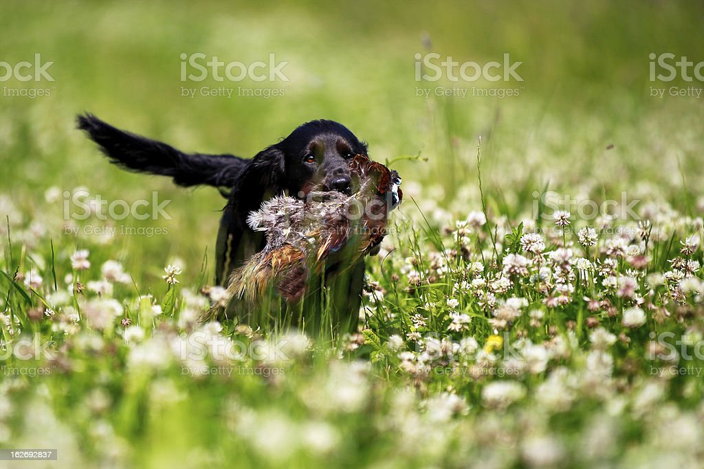 Black Labrador Hunting in Sunny Clover field royalty-free stock photo