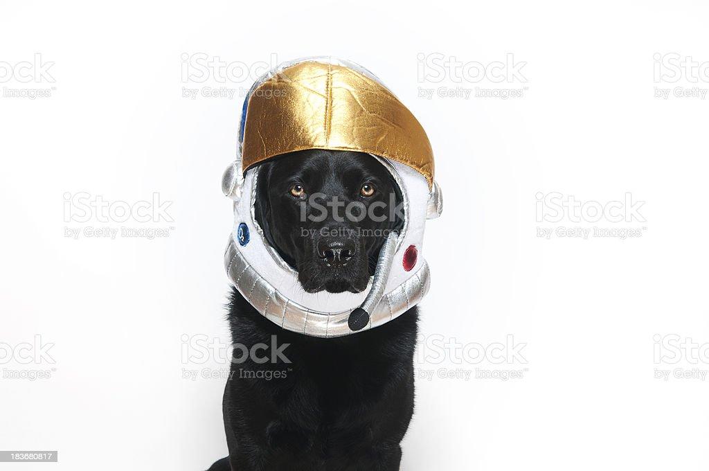 Black Labrador in space helmet stock photo