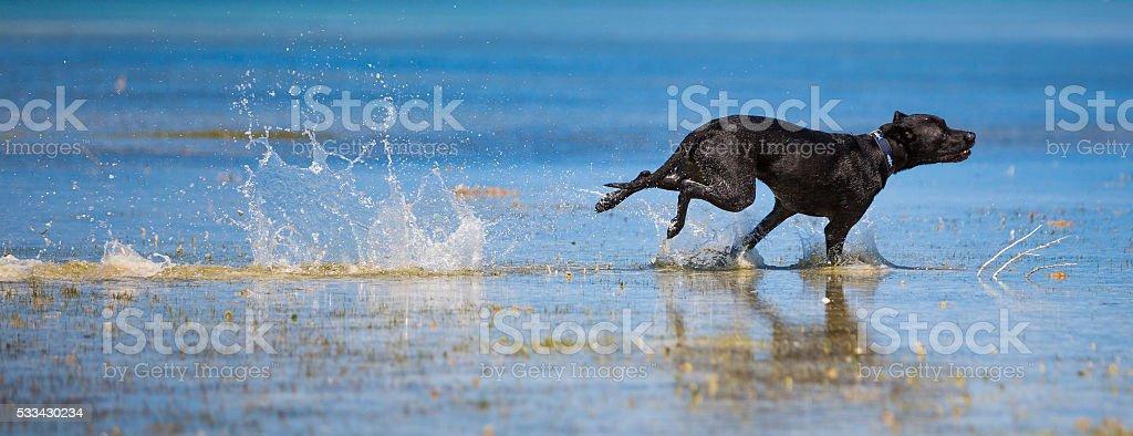 Black labrador mix speeding stock photo