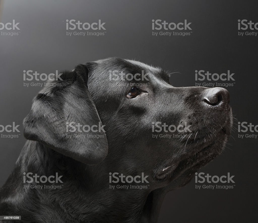 Black labrador on black background stock photo