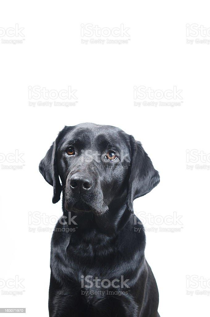 Black Labrador royalty-free stock photo
