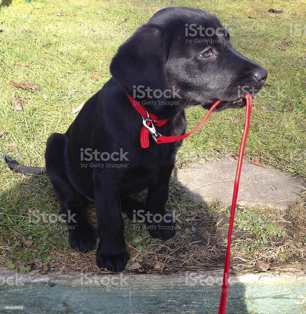 Black labrador puppy carrying her lead stock photo