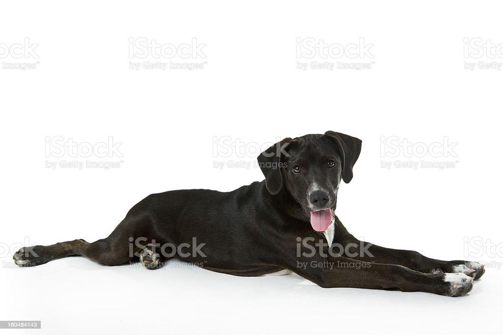 Black Labrador puppy royalty-free stock photo
