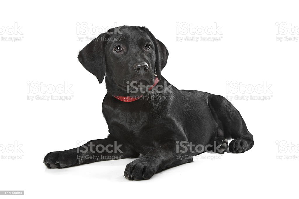 Black Labrador puppy stock photo