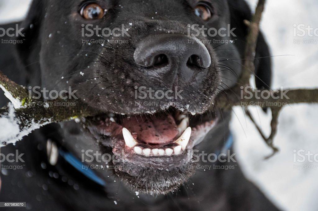 Black labrador retriever biting on a stick stock photo
