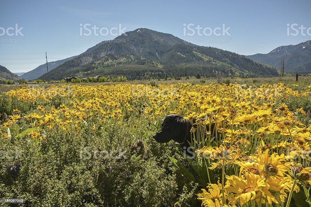Black Labrador retriever dog in a field of wild flowers royalty-free stock photo