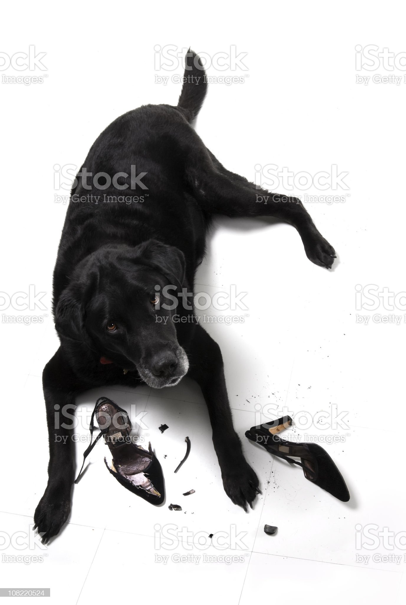 Black Labrador Retriever Dog with Demolished High Heel Shoes royalty-free stock photo