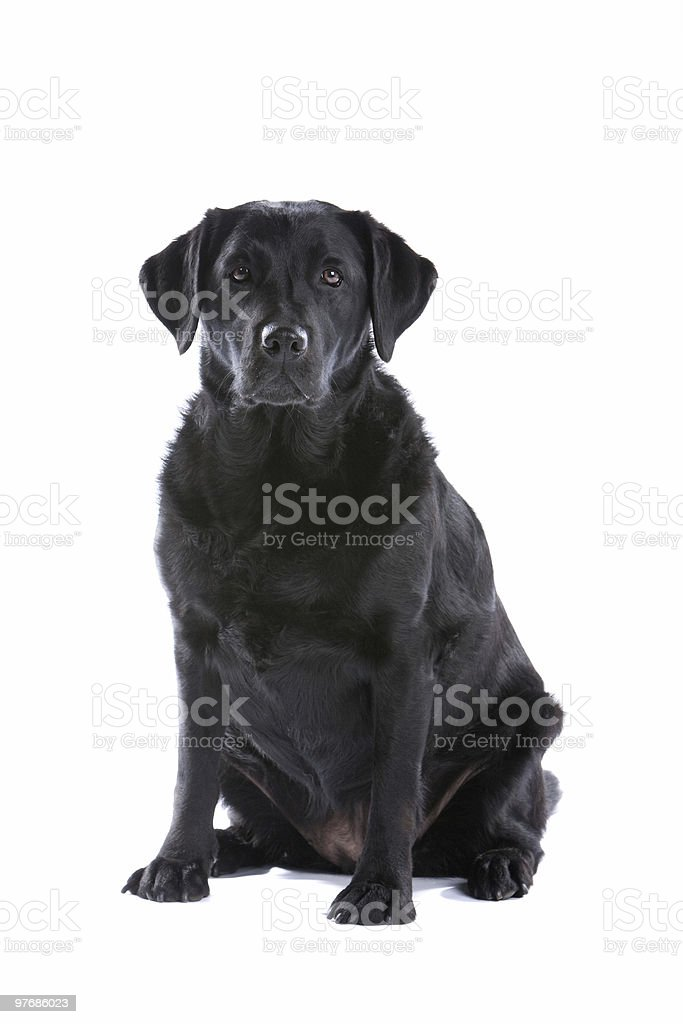Black Labrador Retriever stock photo
