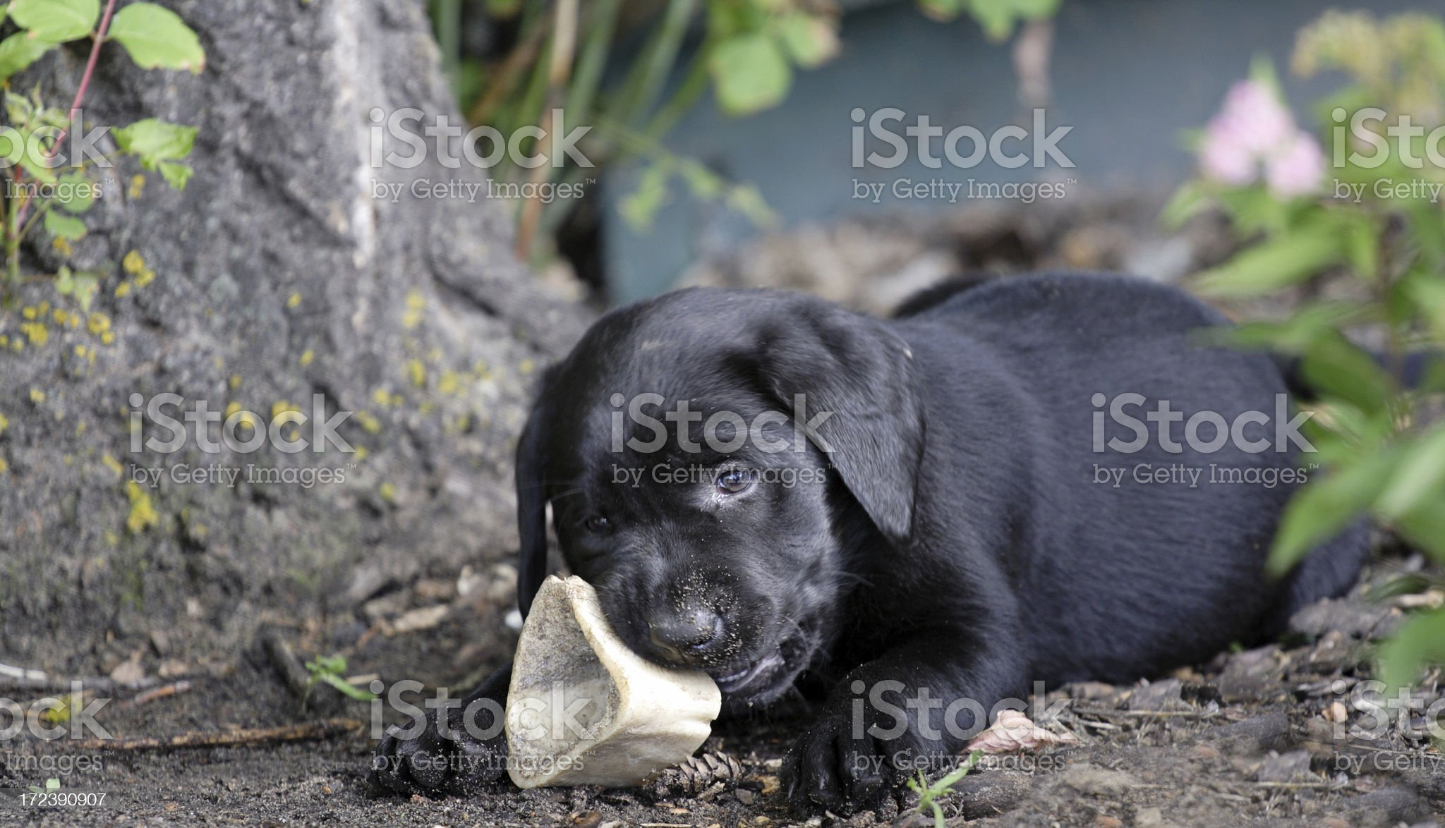 Black Labrador Retriever Puppy royalty-free stock photo