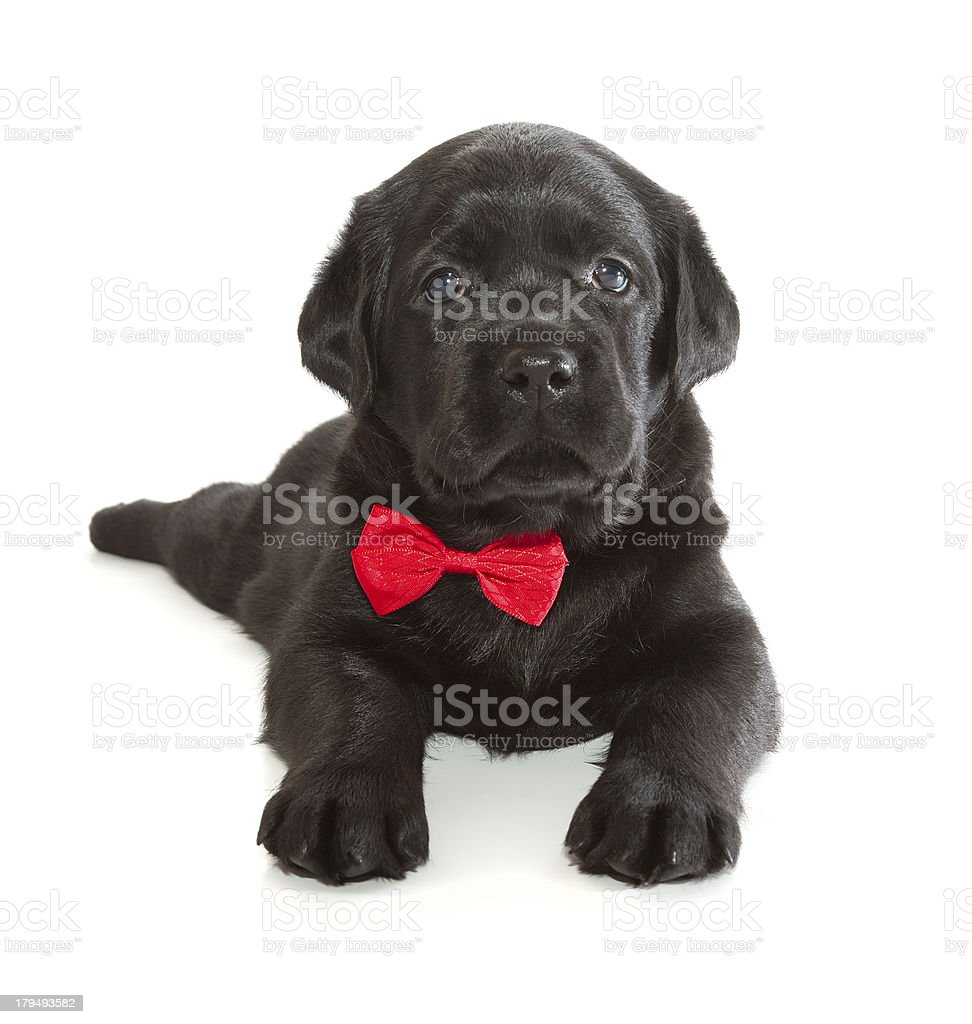 Black Labrador Retriever Puppy stock photo