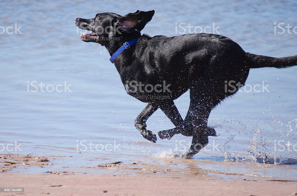 Black Labrador retriever running in the water stock photo