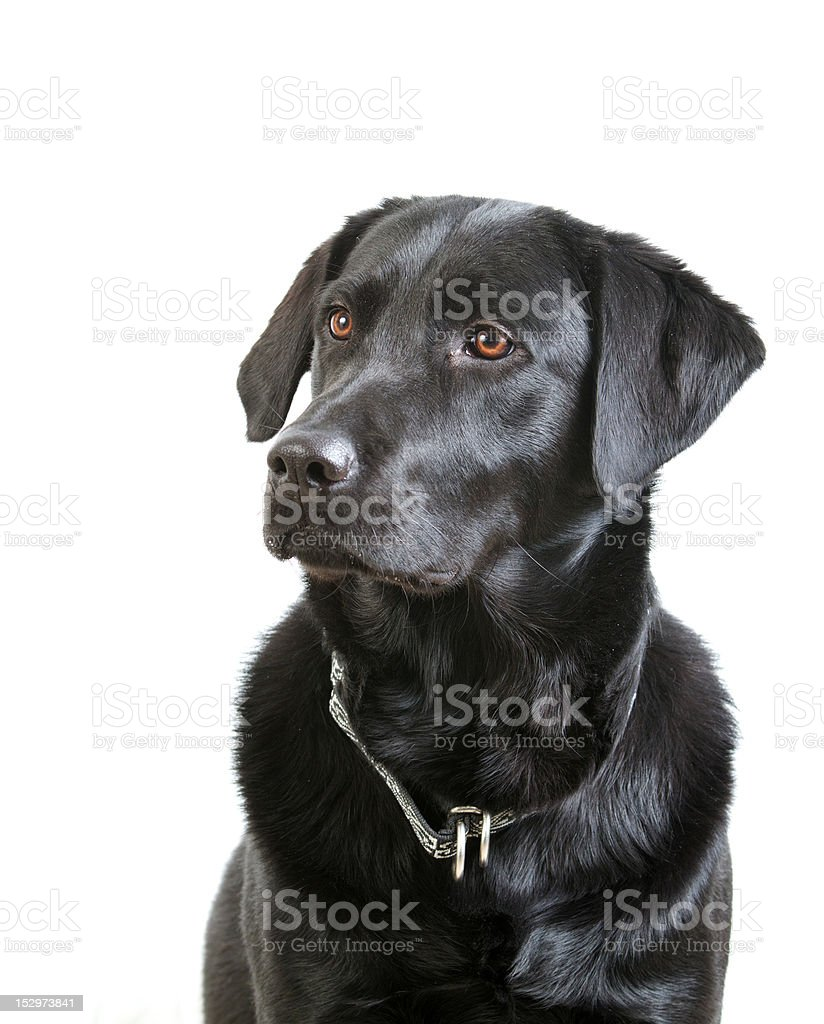 Black Labrador Retriever With Collar Sitting stock photo