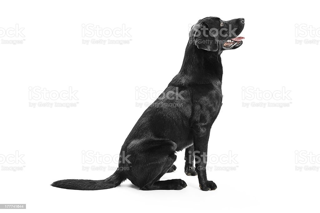 Black Labrador sitting stock photo