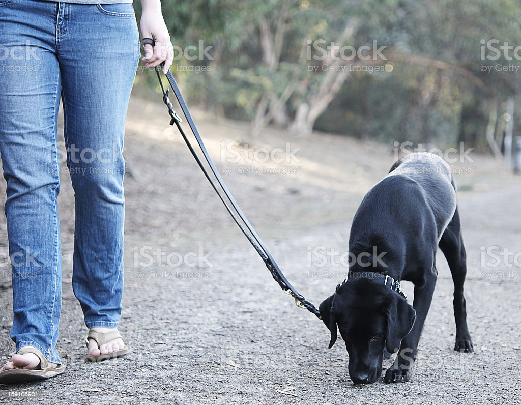 Black Labrador walks with her owner royalty-free stock photo